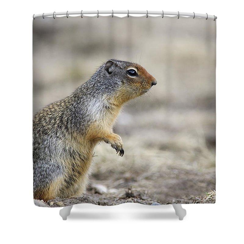 Light Shower Curtain featuring the photograph Columbian Ground Squirrel, Banff by Darwin Wiggett
