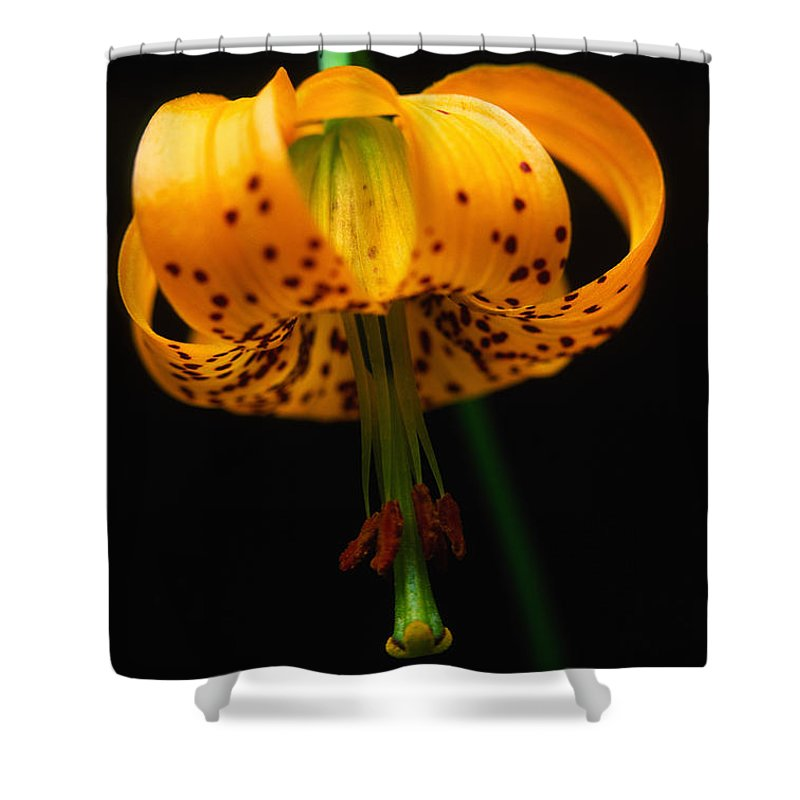 Light Shower Curtain featuring the photograph Columbian Lily Lilium Columbianum by Robert Postma