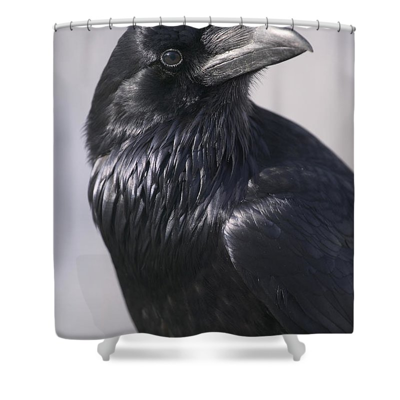 Light Shower Curtain featuring the photograph Common Raven, Jasper National Park by Darwin Wiggett