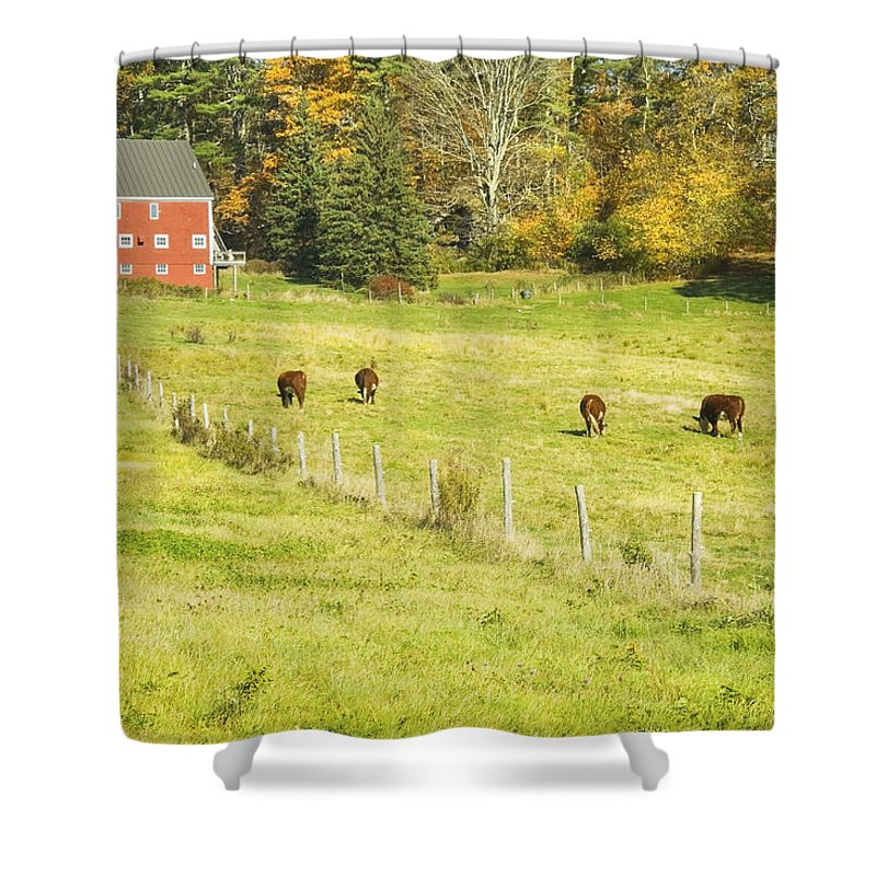 Cow Shower Curtain featuring the photograph Cows Grazing On Grass In Farm Field Fall Maine by Keith Webber Jr