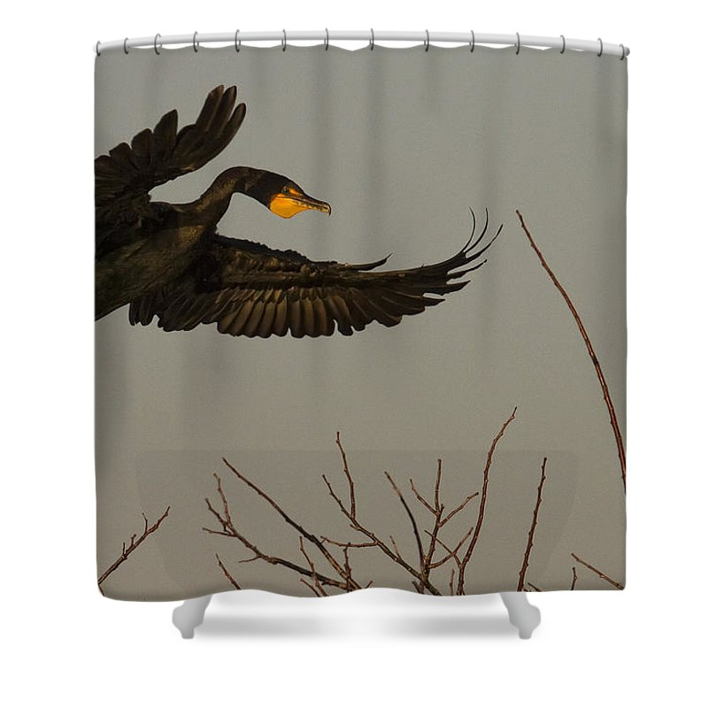 Light Shower Curtain featuring the photograph Double Crested Cormorant Coming by Robert Postma
