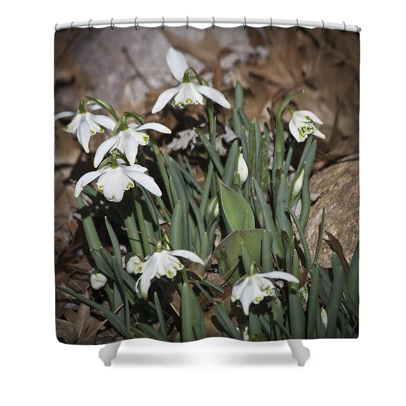 Galanthus Shower Curtain featuring the photograph Double Snowdrops Squared by Teresa Mucha