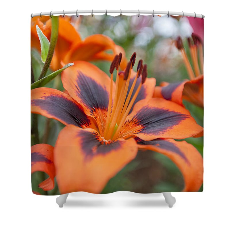 Rhs Shower Curtain featuring the photograph Dutch Lily by Maj Seda