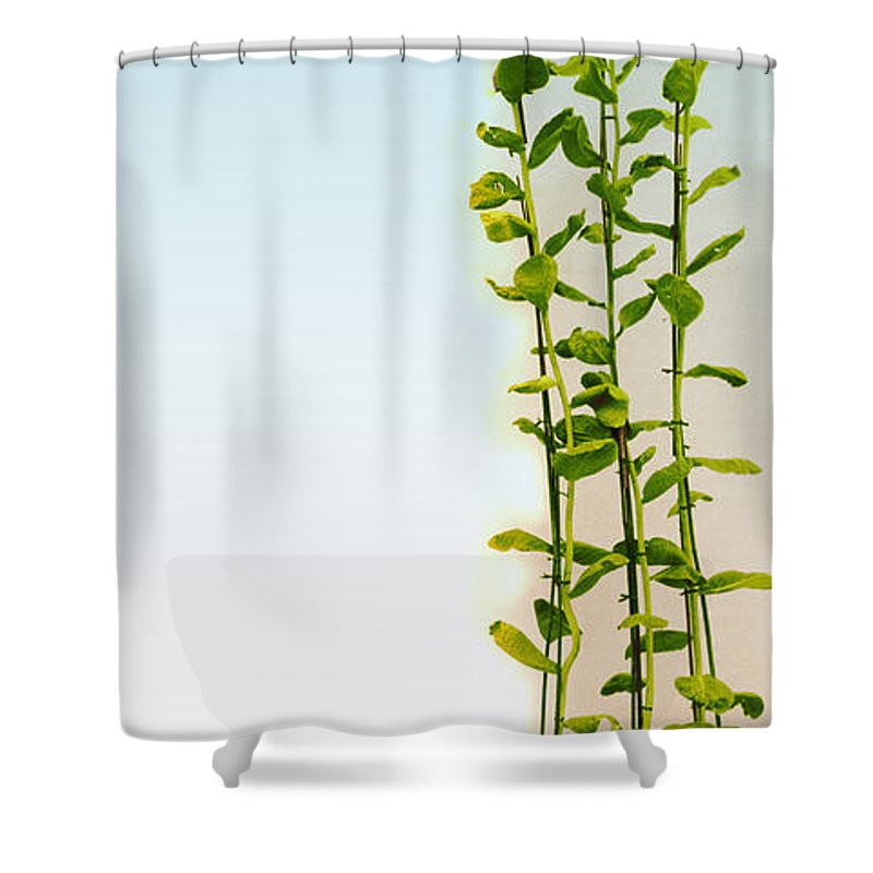 Plant Growth Shower Curtain Featuring The Photograph Effect Of Gibberellic Acid On Cabbage By Omikron