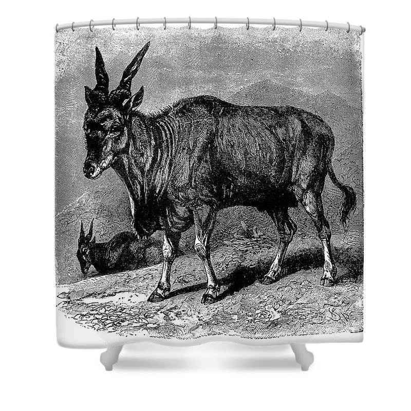 19th Century Shower Curtain featuring the photograph Eland by Granger