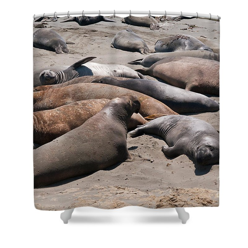 Animals Shower Curtain featuring the digital art Elephant Seal Colony On Big Sur by Carol Ailles