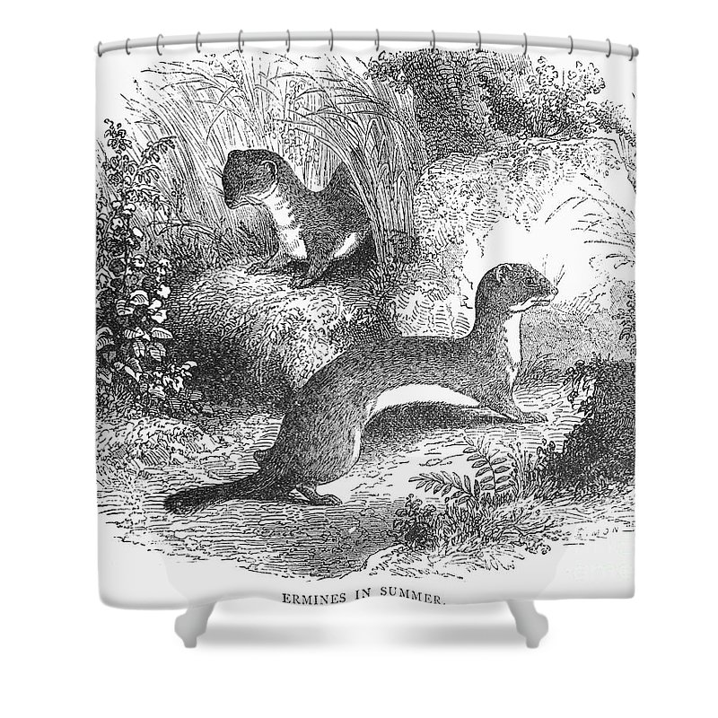 19th Century Shower Curtain featuring the photograph Ermines In Summer by Granger