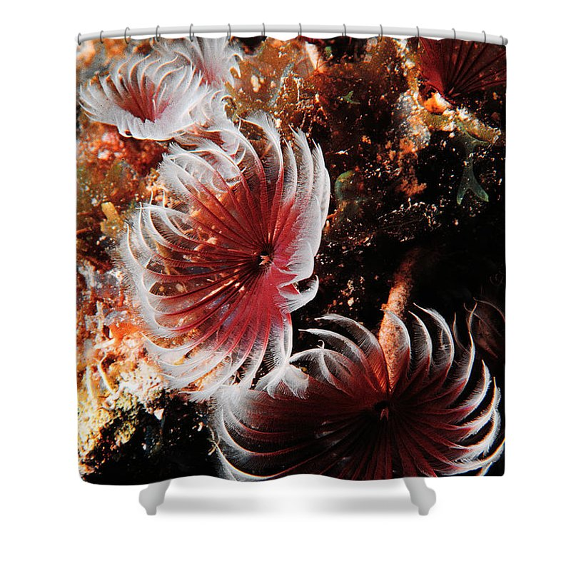Underwater Shower Curtain featuring the photograph Feeding Feather Dusters by Mike Nellums