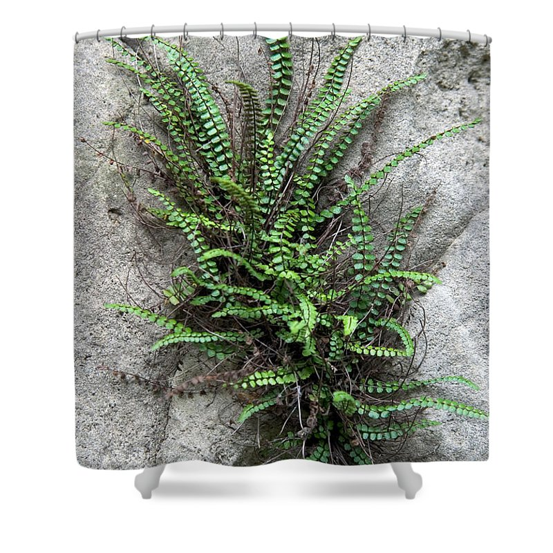 Plant Shower Curtain featuring the photograph Fern Growing From Crack In Limestone by Ted Kinsman