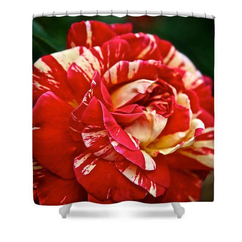 Garden Shower Curtain featuring the photograph Fiesta Rose by Susan Herber