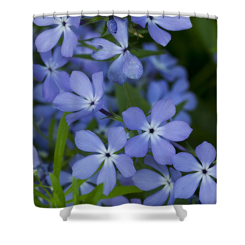 Bloom Shower Curtain featuring the photograph Flower Wild Blue Phlox 1 B by John Brueske