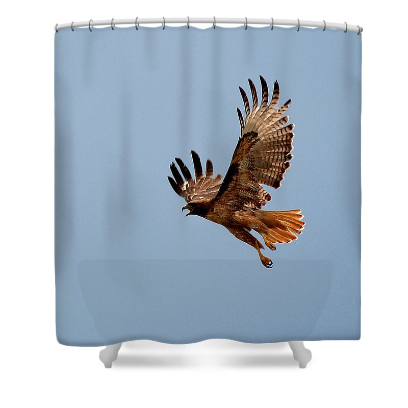 Hawk Shower Curtain featuring the photograph Flying Red Tail 204-2 by Diana Grant