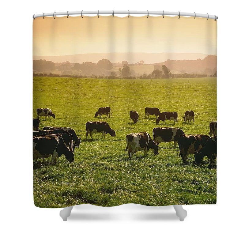 Outdoors Shower Curtain featuring the photograph Friesian Cattle Cattle Grazing by Sici