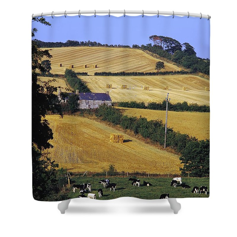 Animal Husbandry Shower Curtain featuring the photograph Friesian Cattle by The Irish Image Collection