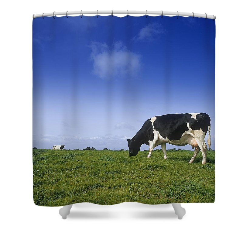 Animal Themes Shower Curtain featuring the photograph Friesian Cow Grazing In A Field by The Irish Image Collection
