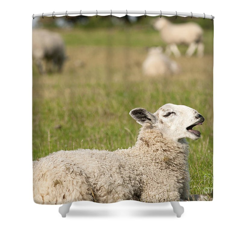 Britain Shower Curtain featuring the photograph Funny Sheep by Andrew Michael