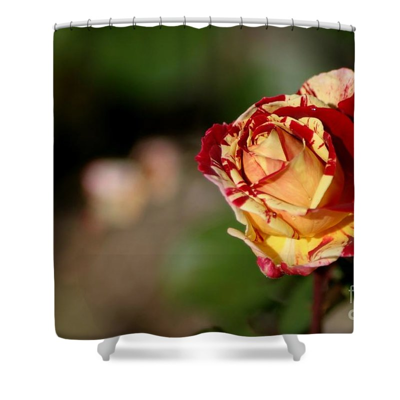 Rose Shower Curtain featuring the photograph George Burns Rose by Living Color Photography Lorraine Lynch