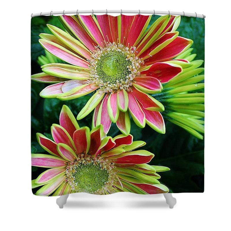 Flora Shower Curtain featuring the photograph Gerber Daisies by Bruce Bley