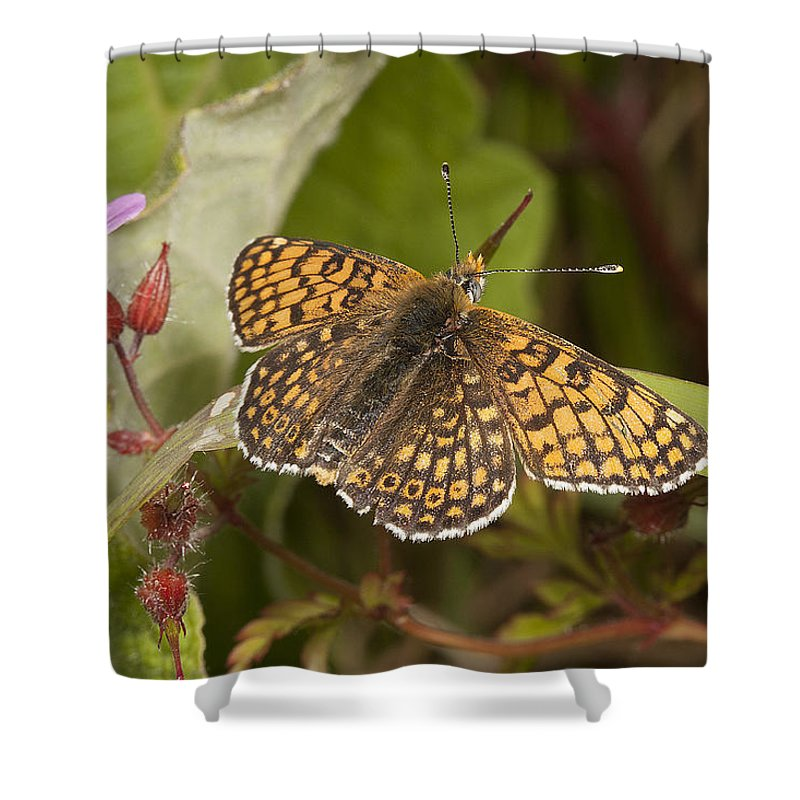 Butterflies Shower Curtain featuring the photograph Glanville Fritillary by Bob Kemp
