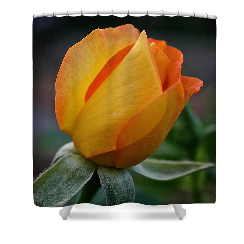 Outdoors Shower Curtain featuring the photograph Gold Medal Bud by Susan Herber