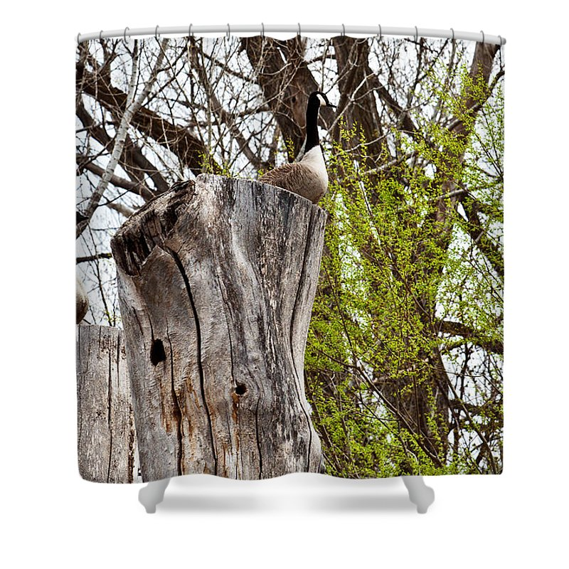 Canada Geese Shower Curtain featuring the photograph Goose Tree by Edward Peterson