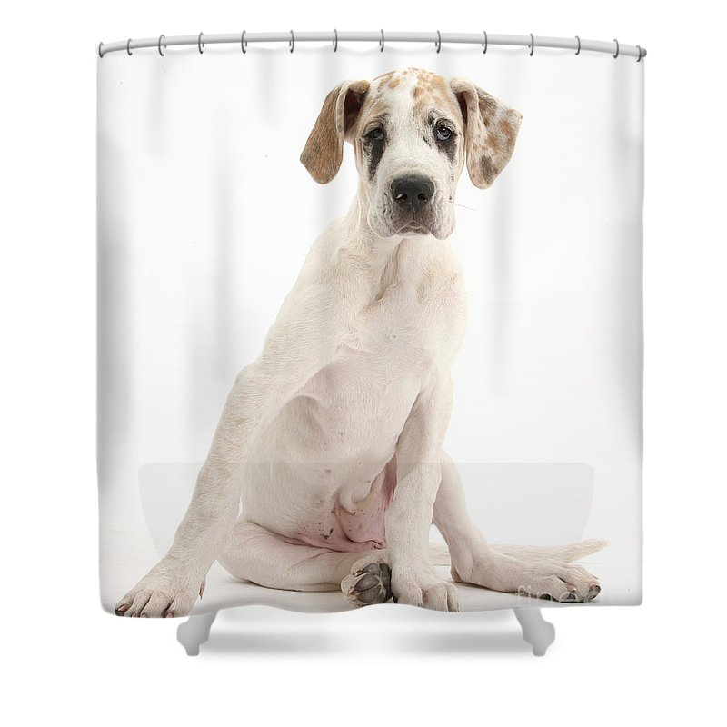 Nature Shower Curtain featuring the photograph Great Dane Pup by Mark Taylor