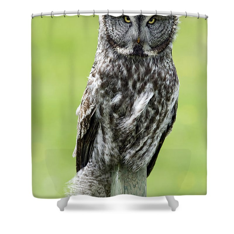 Light Shower Curtain featuring the photograph Great Grey Owl, Water Valley, Alberta by Darwin Wiggett