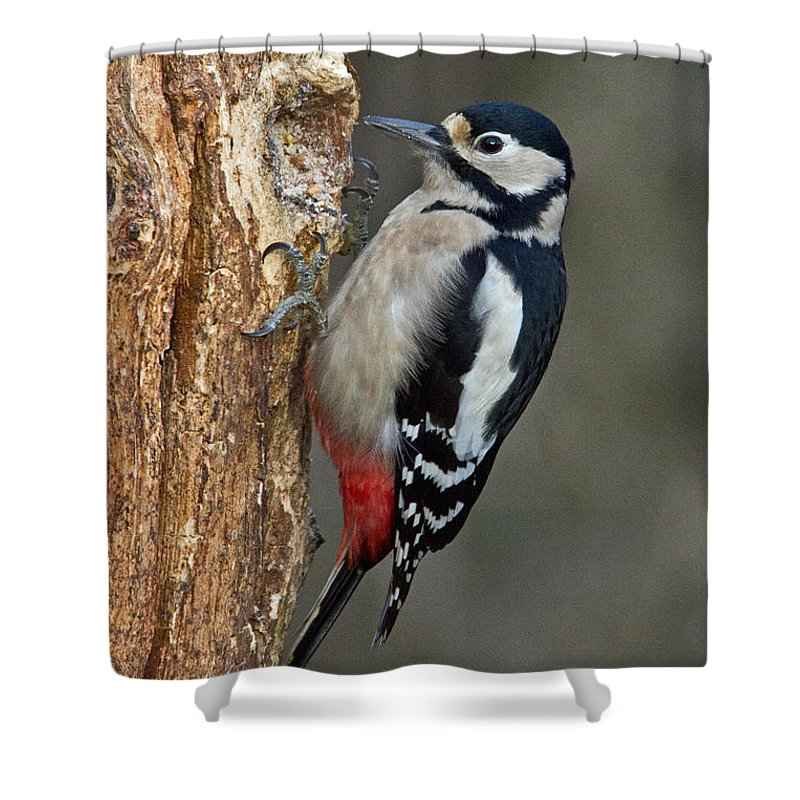 Great Shower Curtain featuring the photograph Great Spotted Woodpecker by David Pringle