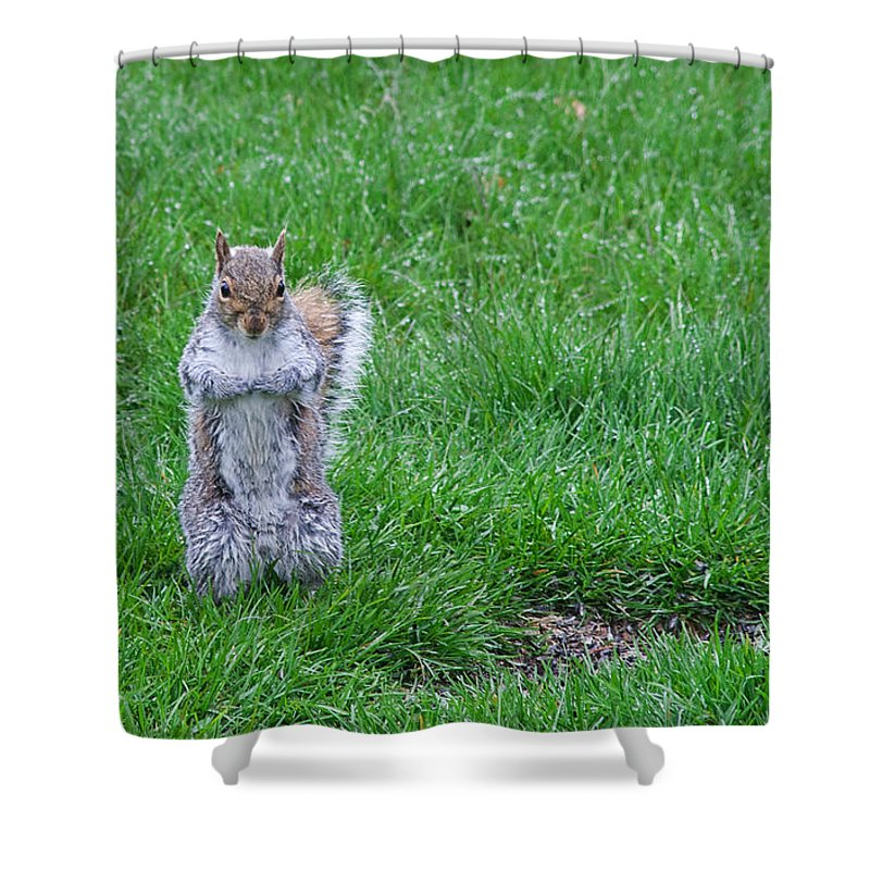 Squirrel Shower Curtain featuring the photograph Grey Squirrel In The Rain II by Jeff Galbraith