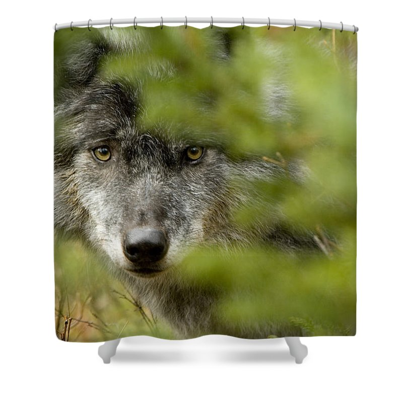 Light Shower Curtain featuring the photograph Grey Wolf, Outside Golden, British by Robert Postma