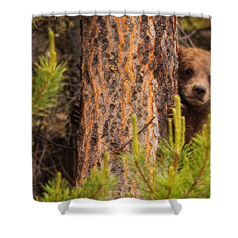 Light Shower Curtain featuring the photograph Grizzly Bear Cub Up A Tree, Yukon by Robert Postma