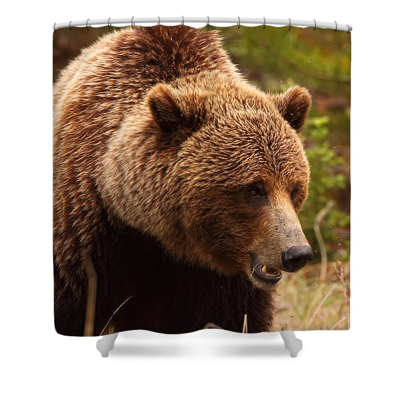 Light Shower Curtain featuring the photograph Grizzly Bear, Yukon by Robert Postma