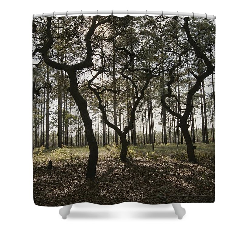 North America Shower Curtain featuring the photograph Grove Of Trees In The Ocala National by Raymond Gehman