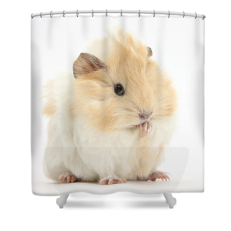 Animal Shower Curtain featuring the photograph Guinea Pig Washing Paw by Mark Taylor
