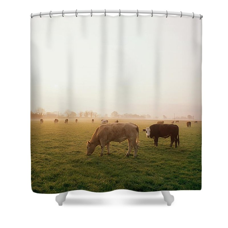 Back Lit Shower Curtain featuring the photograph Hereford Cattle, Ireland by The Irish Image Collection