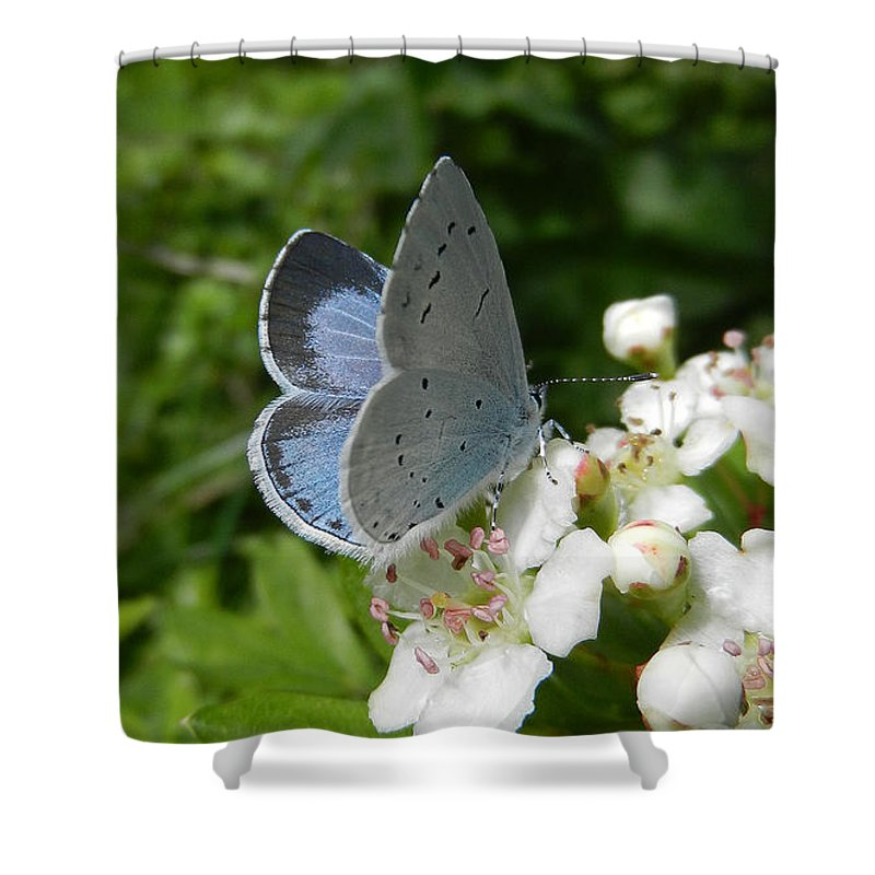 Butterflies Shower Curtain featuring the photograph Holly Blue by Bob Kemp
