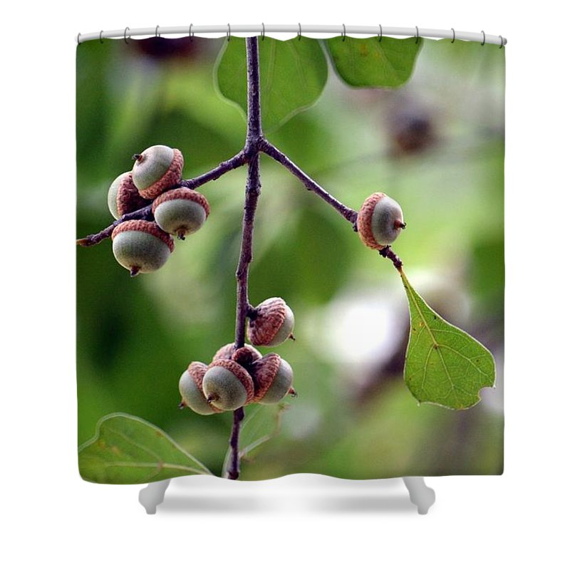 Immature Shower Curtain featuring the photograph Immature Acorns by Maria Urso