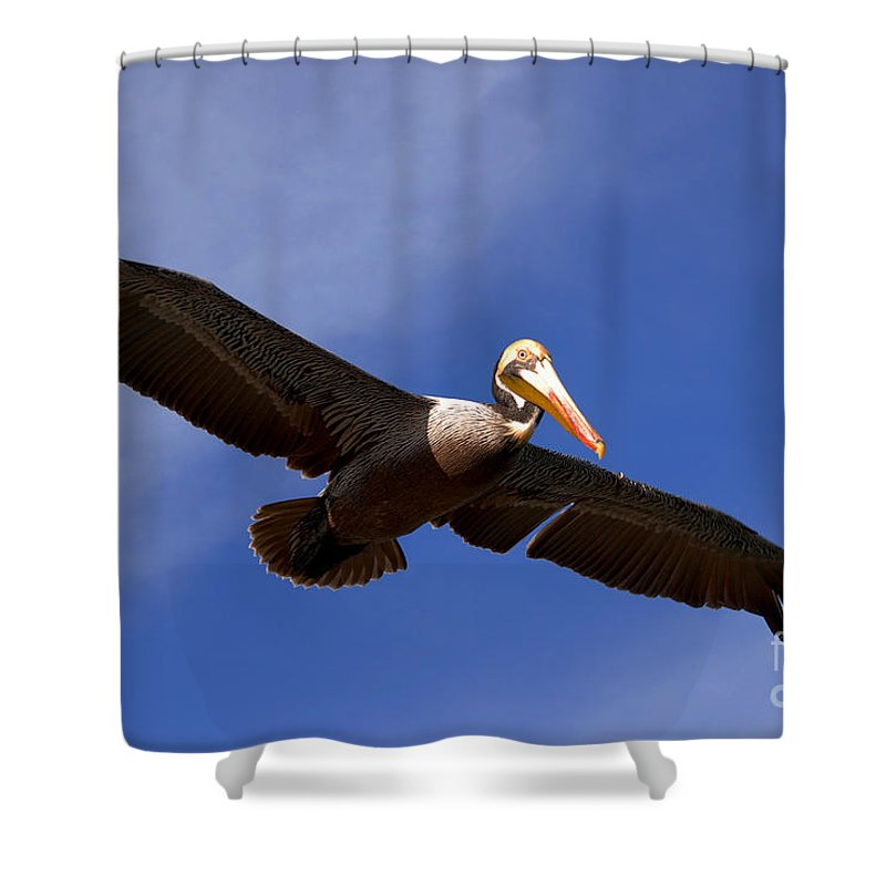 Pelican Shower Curtain featuring the photograph In Flight Pelican by Susanne Van Hulst