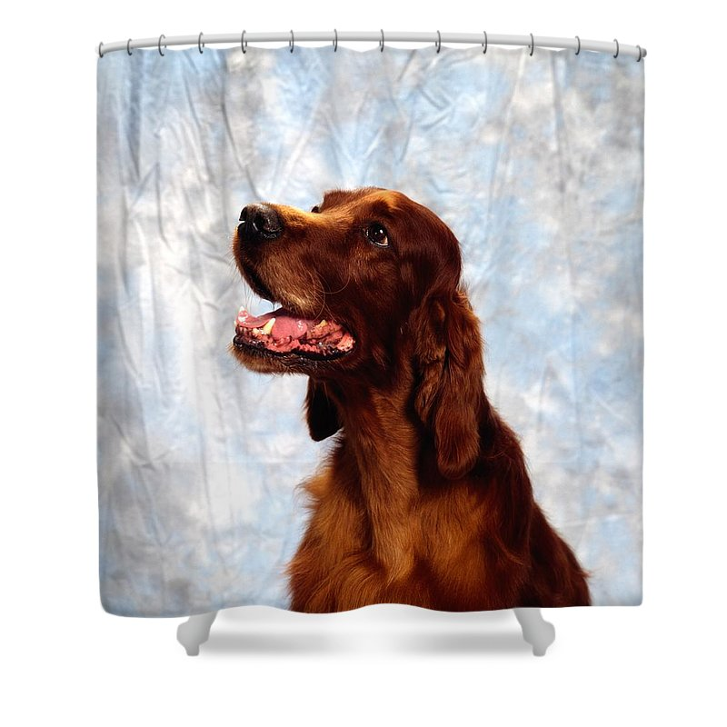 Animals Shower Curtain featuring the photograph Irish Red Setter by The Irish Image Collection