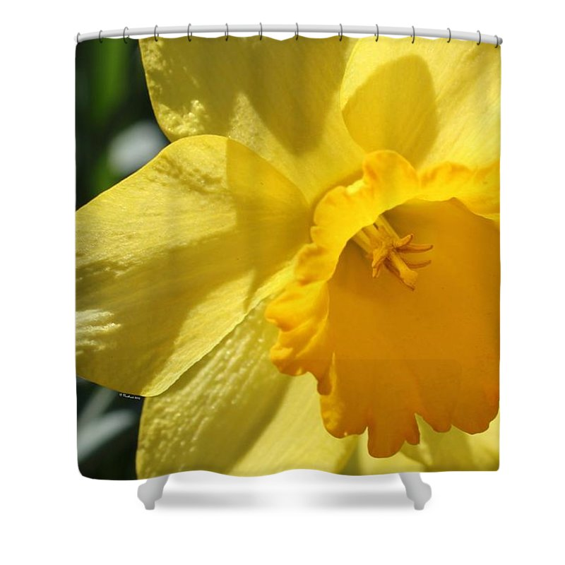 Daffodil Shower Curtain featuring the photograph Just For The Frill Of It by Betty Northcutt