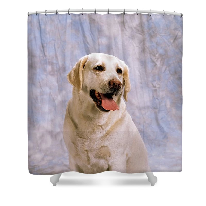 Breed Shower Curtain featuring the photograph Labrador Retriever by The Irish Image Collection