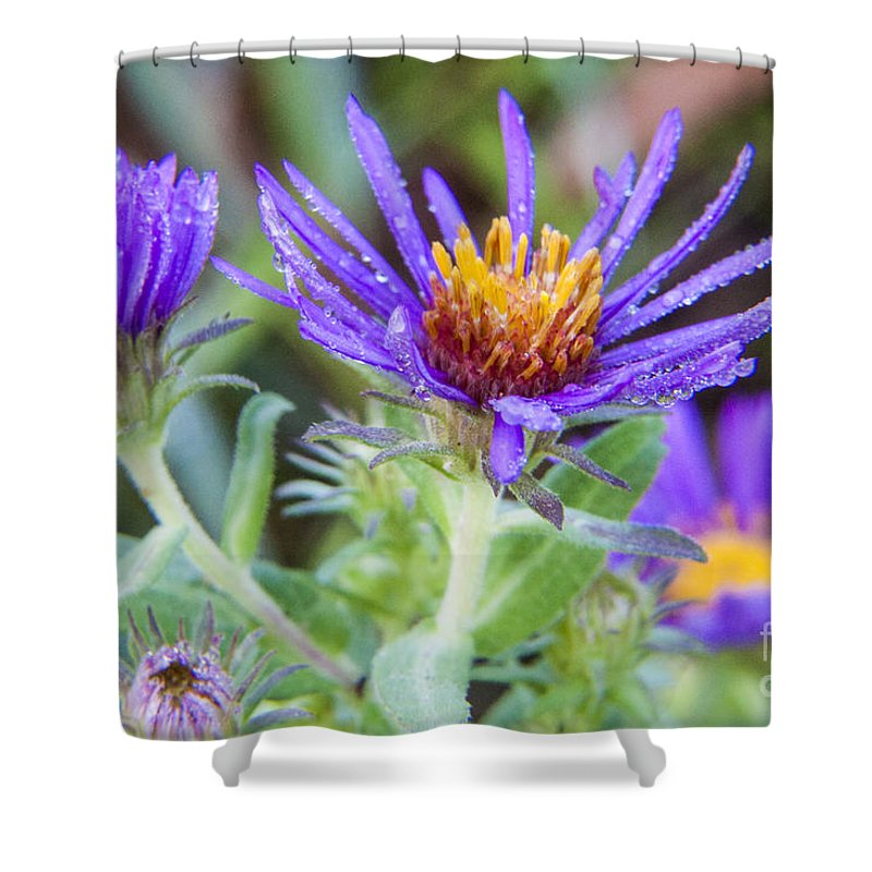 Fleabane Shower Curtain featuring the photograph late Summer Fleabane by Darleen Stry