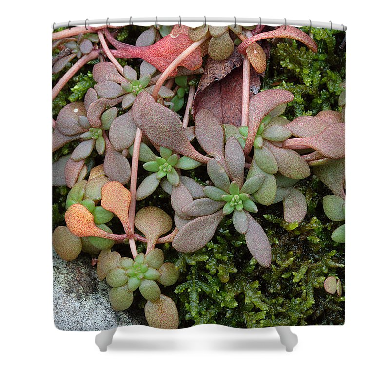 Sedum Pulchellum Shower Curtain featuring the photograph Lime Stonecrop Leaves In Winter by Daniel Reed
