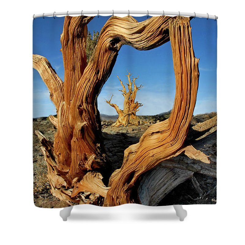 Bristlecone Pine Shower Curtain featuring the photograph Looking Through A Bristlecone Pine by Dave Mills