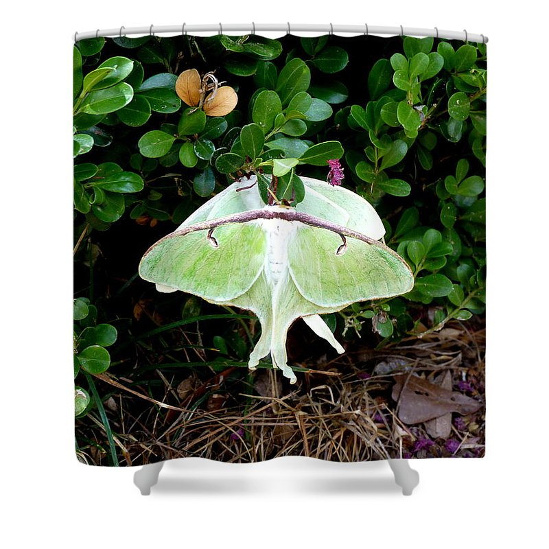 Luna Shower Curtain featuring the photograph Luna Moths' Afternoon Delight by Carla Parris