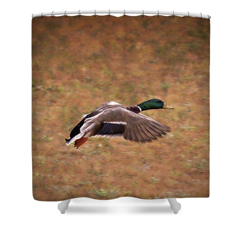 Mallard Duck In Flight Shower Curtain featuring the photograph Mallard Duck In Flight by Douglas Barnard
