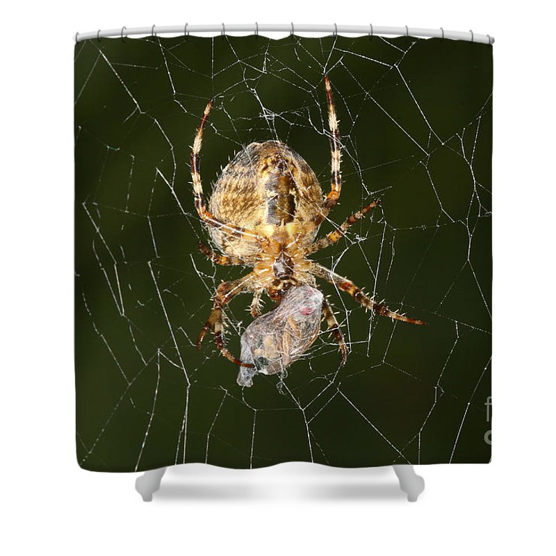 Animal Shower Curtain featuring the photograph Marbled Orb Weaver Spider Eating by Ted Kinsman