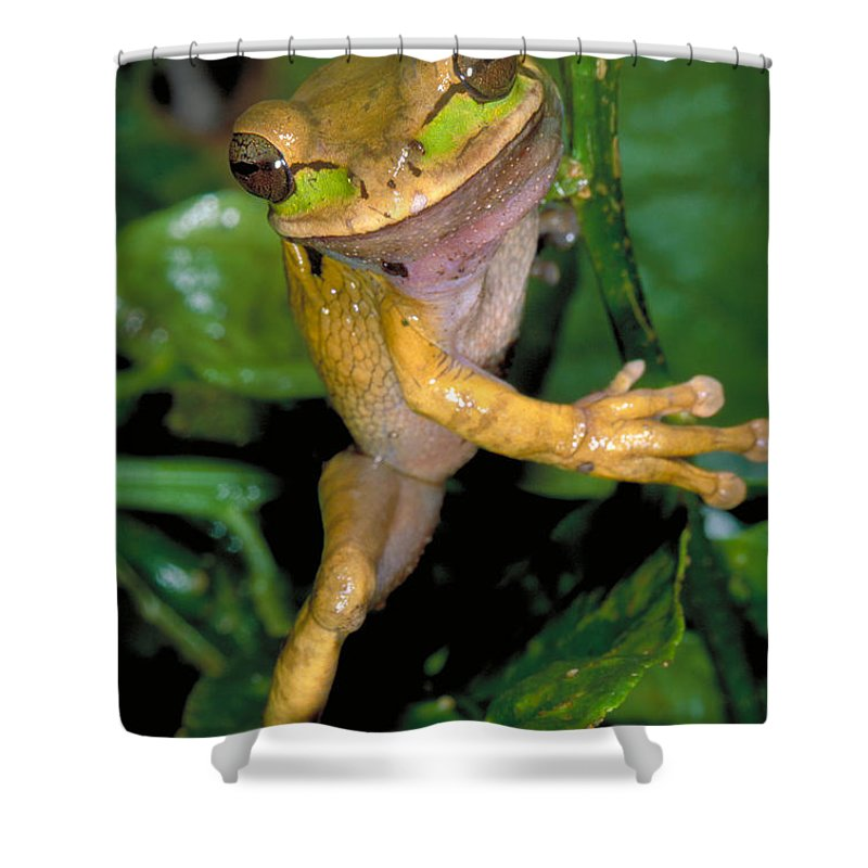 Treefrog Shower Curtain featuring the photograph Masked Treefrog by Gregory G Dimijian