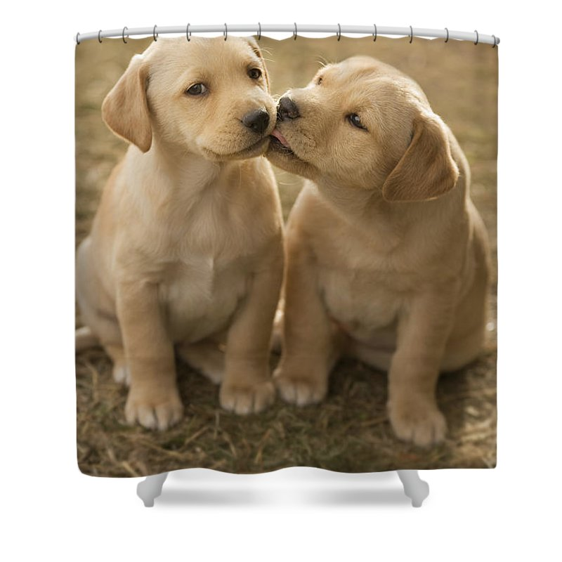 Mixed Breed Lab Cross 8-week Old Puppy Shower Curtain