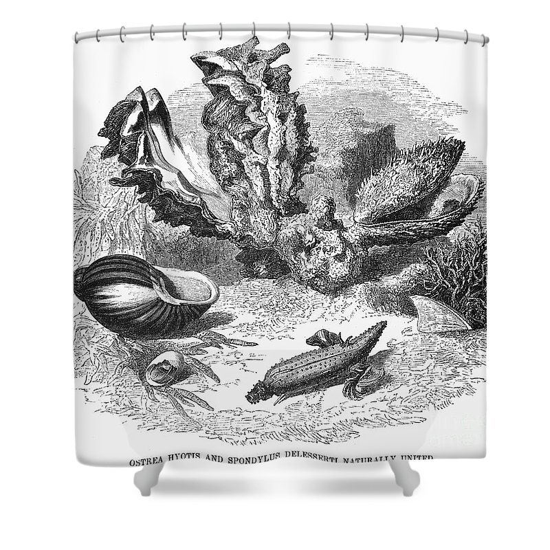 19th Century Shower Curtain featuring the photograph Mollusk by Granger